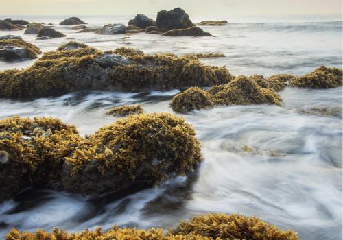 seaweed2-500x350